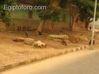 carneros_cabras1.JPG