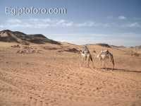 camellers.JPG